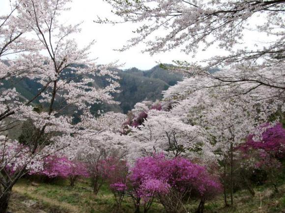 桜もツツジもちょうど見頃です♪
