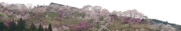 桜とツツジの競演:三休公園