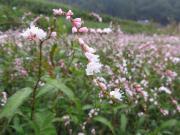 小さな花が集まって咲く
