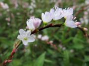 サクラタデの雄株の花