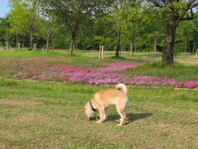 芝桜と柴犬のサクラ