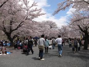 見事な桜・桜・桜