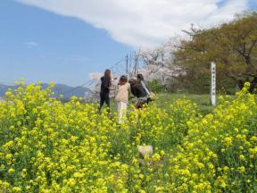 道明寺ヤグラ跡の菜の花