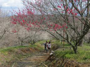 たくさんの種類の梅の樹があります