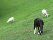 傾斜面で草を食むヤギたち