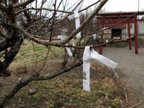 梅の樹とおみくじ