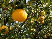 柚子の樹 イメージ