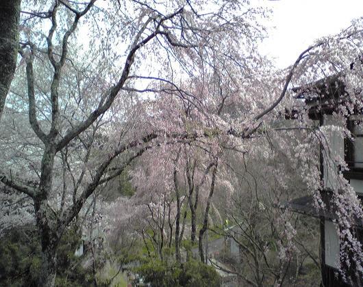 吉野山しだれ桜