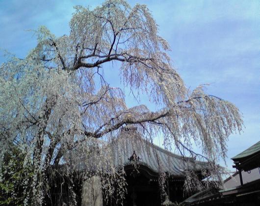吉野さくら桜②