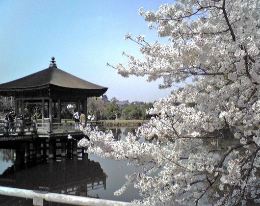 鷺池(六角堂さくら)
