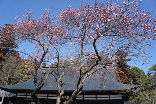梅の花 放光寺 境内
