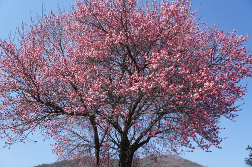 梅の花 放光寺 外