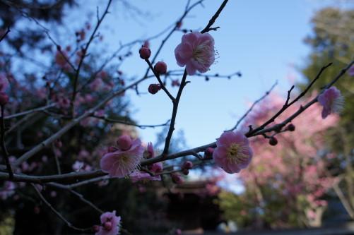 梅の花 一宮浅間神社 ズーム