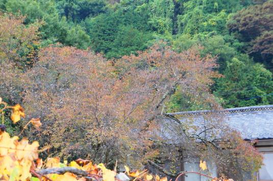 城下の四季桜 外観