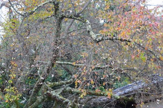 城下の四季桜 ズーム