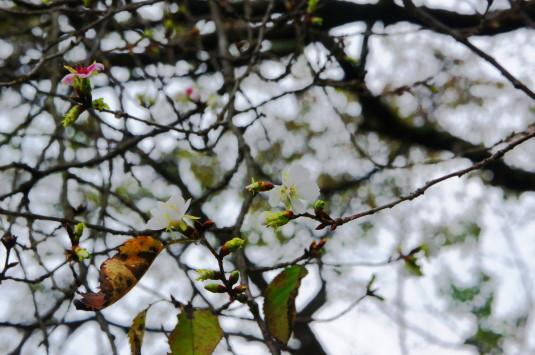 城下の四季桜 花
