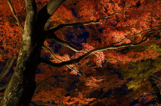 紅葉 山中湖 ライトアップ 撮影ポイント見上げる