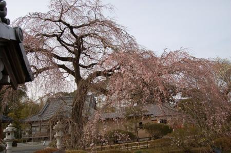 21安国寺の桜
