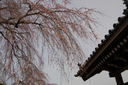 22安国寺の桜