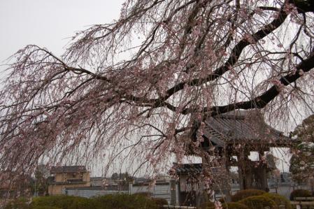 23安国寺の桜