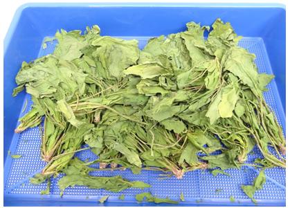 野菜乾燥機プチミニでほうれん草を乾燥