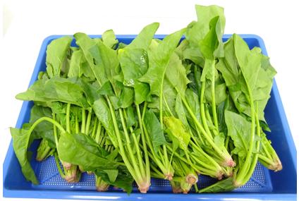 プチミニ1トレイで1kgのほうれん草を乾燥可能です