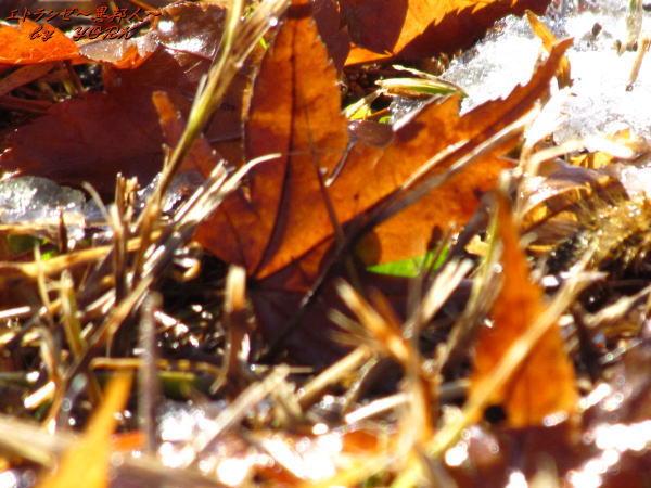 1255枯れ葉と雪120102