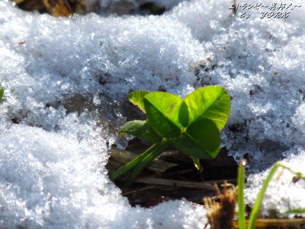 1258雪からの芽吹き120102