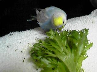 フリルレタスを食べるインコ
