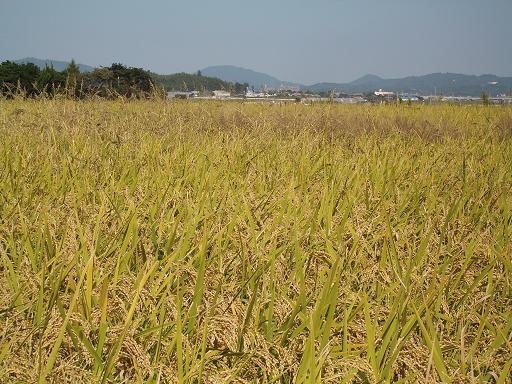 稲刈り 10.17 ひの②