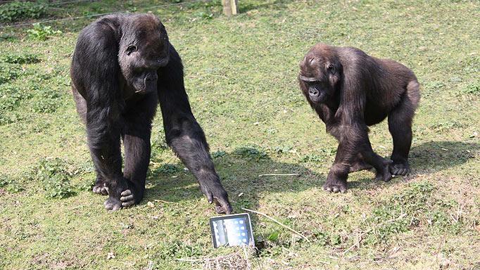 gorillas_2_-682_1283917a.jpg