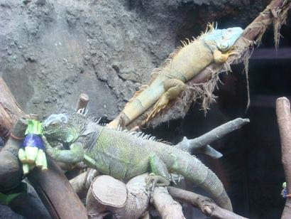 iguanakunn.jpg