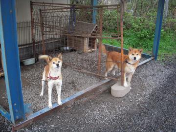舞鶴の犬たち
