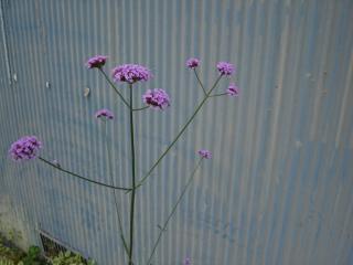 lavender coloured flower