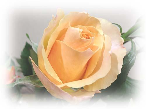 rose_20131230002930730.jpg