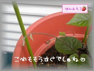 ちこちゃんのあさがお観察日記★2★-5
