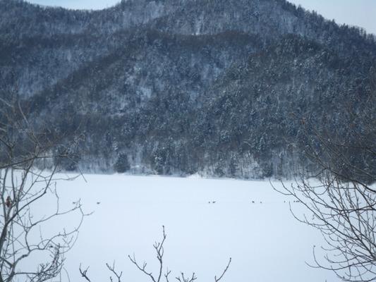 かなやま湖エゾ鹿2