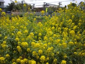 20110416菜の花畑1