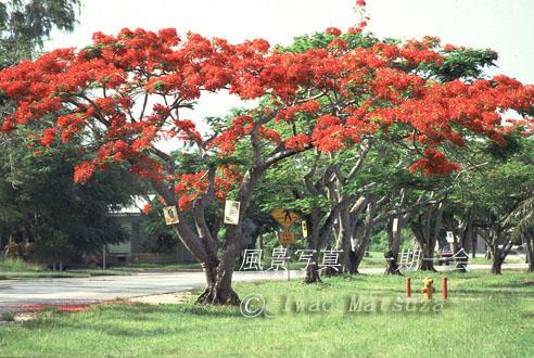 南洋桜 火炎樹