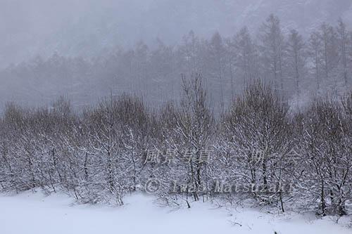 雪に煙る樹林