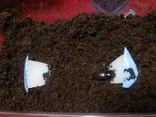 バンダエンシス産卵セット