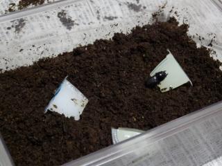 ムシモンオオクワ産卵セット