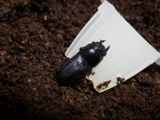ムシモンオオクワ産卵セット雌