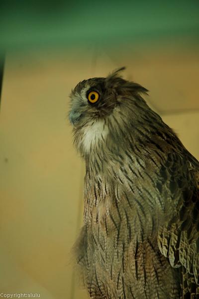 釧路市動物園 シマフクロウ