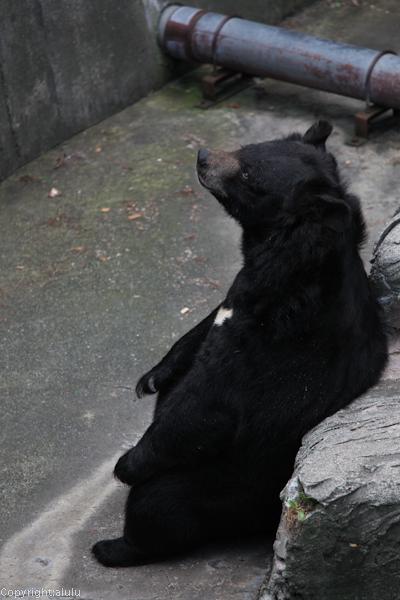 ヒマラヤグマ 円山動物園