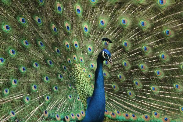 インドクジャク 動物園