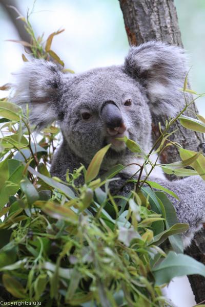 コアラ 動物園