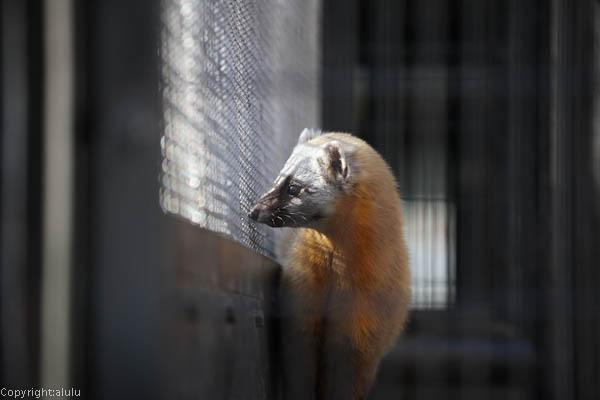 野毛山動物園 ホンドテン