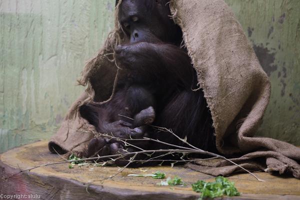 オランウータン 赤ちゃん