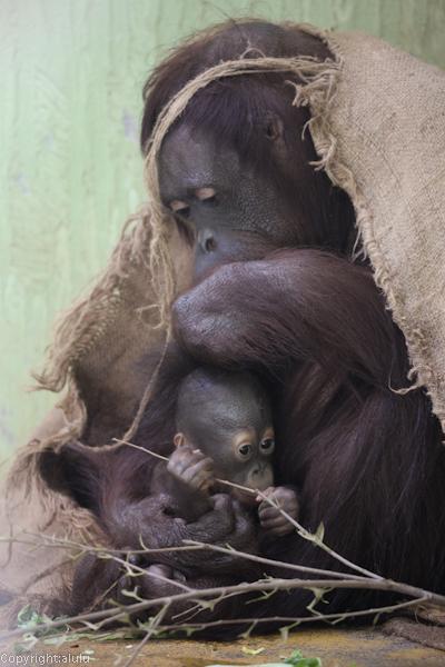 日本平動物園 オランウータン 赤ちゃん